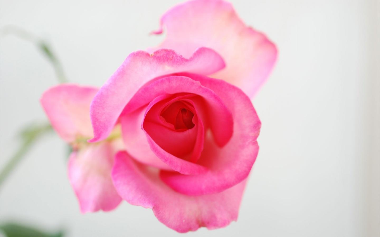 صورة ورود رومانسية , اجمل صور ورود جميلة ورومانسية 3746 4