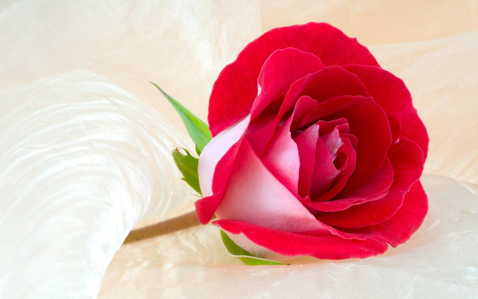 صورة ورود رومانسية , اجمل صور ورود جميلة ورومانسية 3746 7