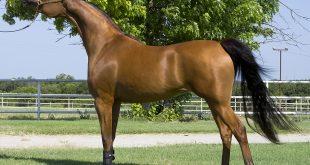 صورة حصان عربي , اجمل صور الاحصنة العربية الاصيلة