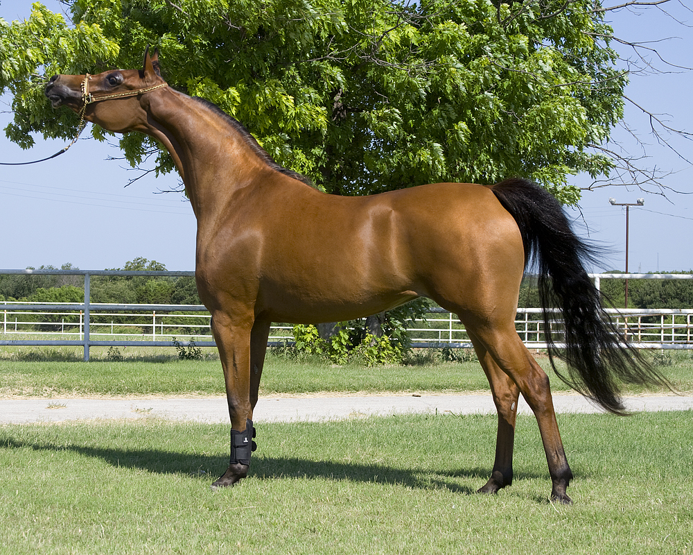 صور حصان عربي , اجمل صور الاحصنة العربية الاصيلة