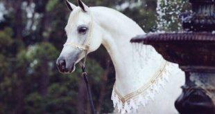 صورة خيول عربية , صور لاجمل الخيول العربيه