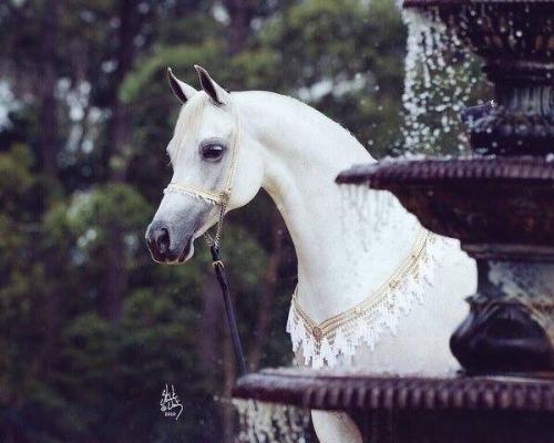 صور خيول عربية , صور لاجمل الخيول العربيه