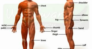صورة جسم الرجل , تعرف على جسم الرجل