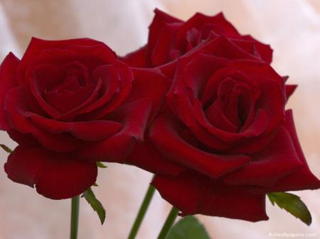 صورة صور ورد جميل , اجمل اشكال الورود في الصباح 2022 1