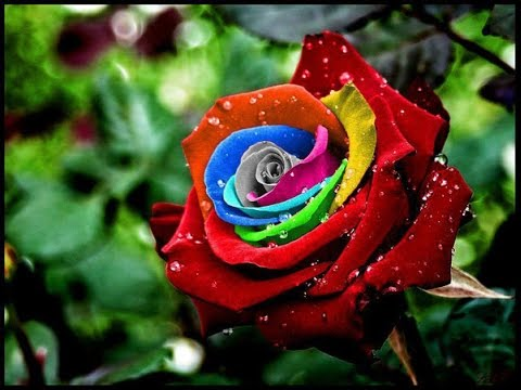 صورة صور ورد جميل , اجمل اشكال الورود في الصباح 2022 4