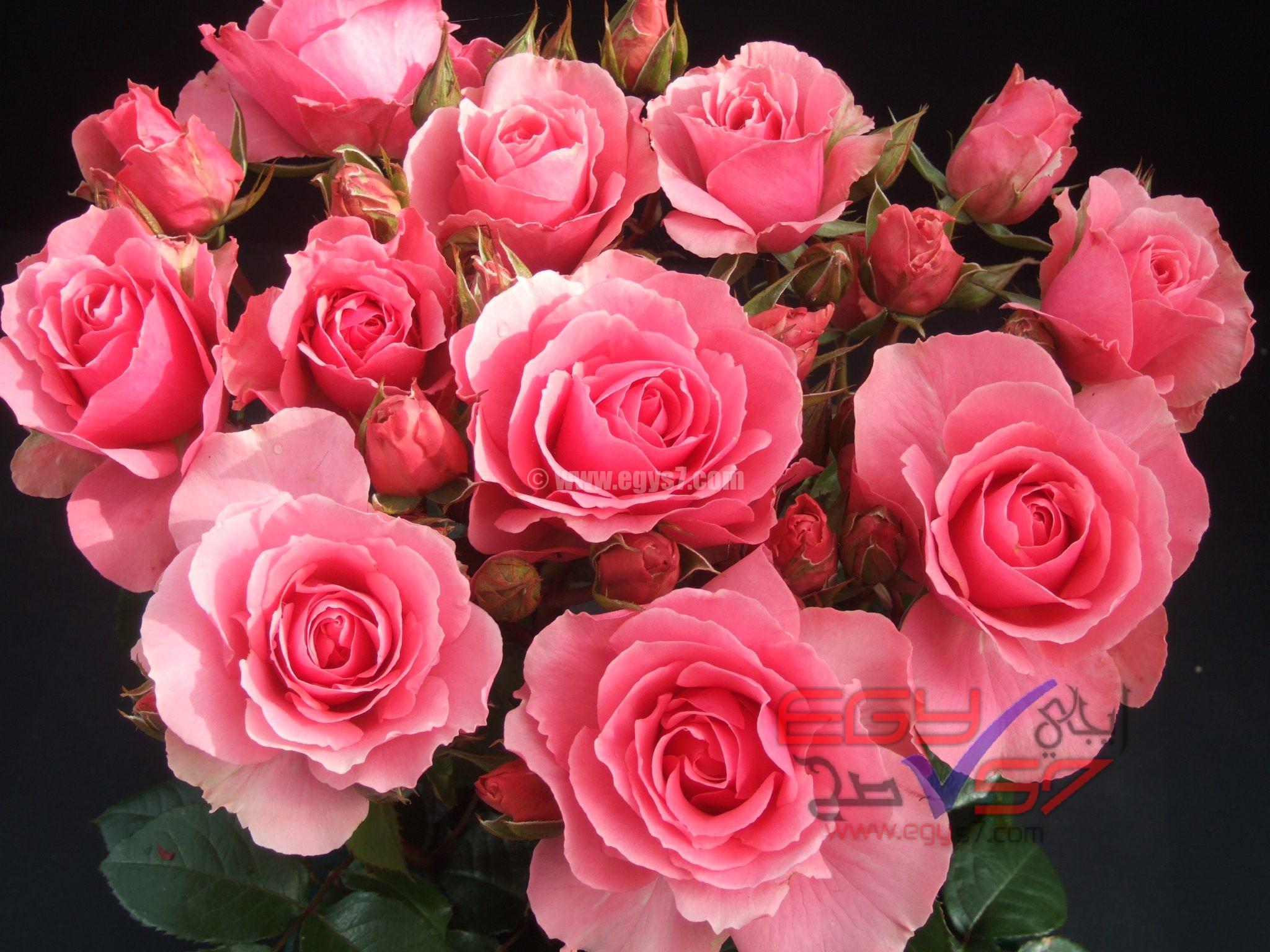 صورة صور ورد جميل , اجمل اشكال الورود في الصباح 2022 6