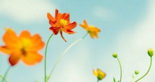 صور خلفيات زهور , اجمل خلفيات لاجمل زهور