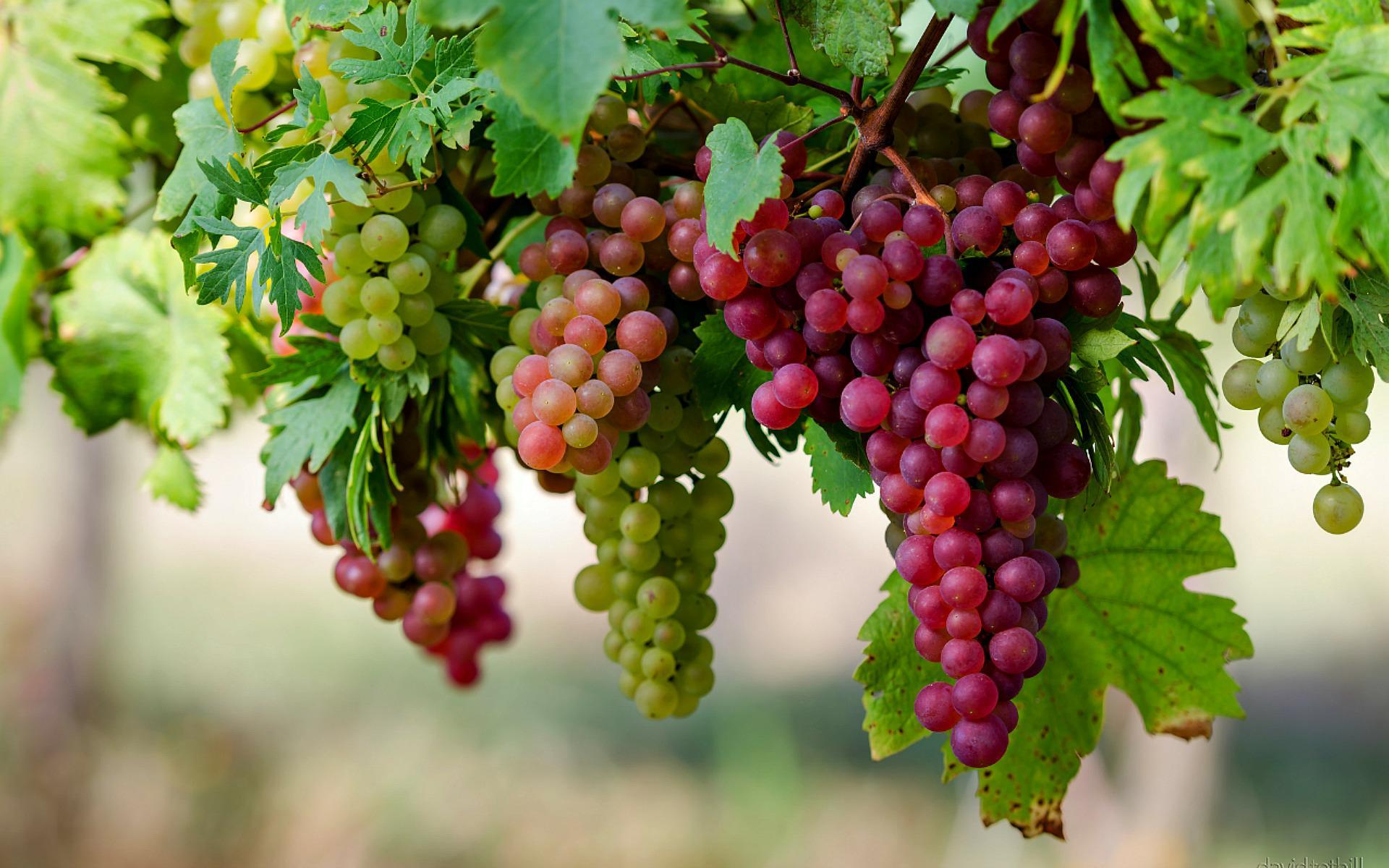 صورة فوائد العنب الاحمر , اهم فوائد اكل العنب الاحمر