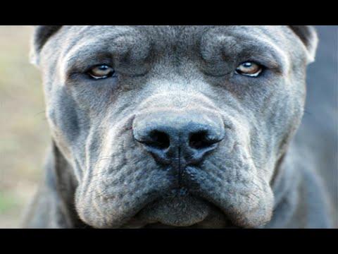 صورة اخطر انواع الكلاب , كلاب شرسه لا يجب تربيتها في المنزل