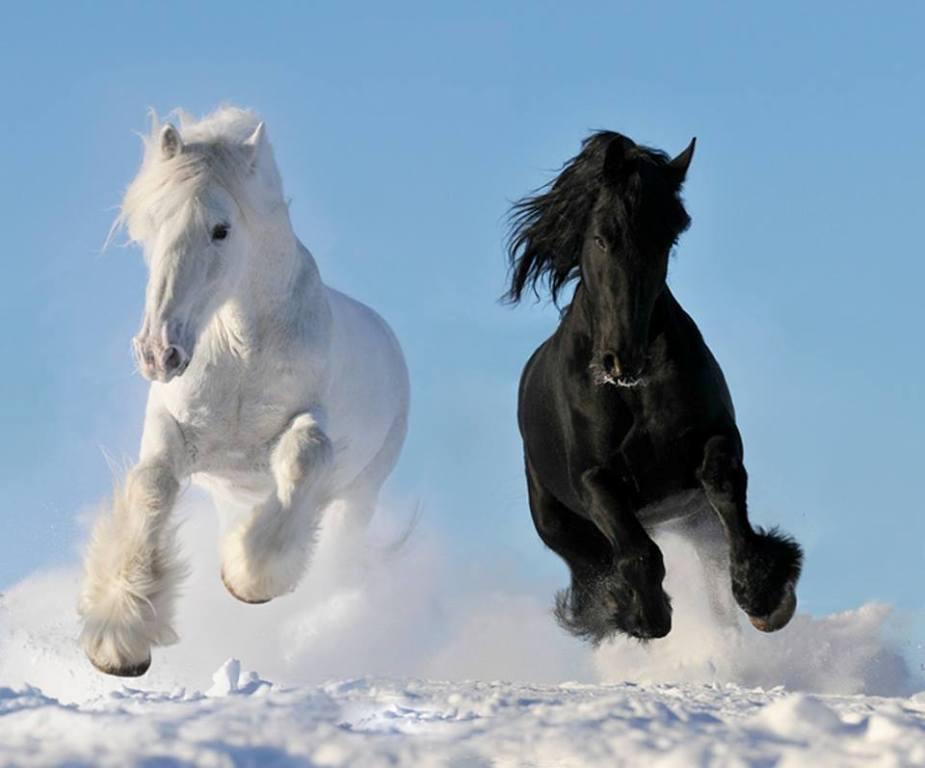 صور صور خيول , اجمل الخيول العربية الاصيلة
