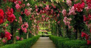 صور ورد خلفيات , اجمل الورود علي شكل خلفيات