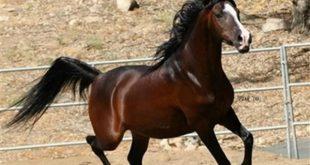 صور خيول عربية اصيلة , احلي صور لخيول عربية اصيلة