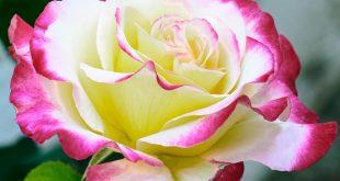 اجمل الورود في العالم , صور ورود لا مثيل لها بالكون