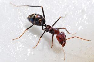بالصور معلومات عن النمل , معلومات عن النمل لن تصدقها 3224 3 310x205