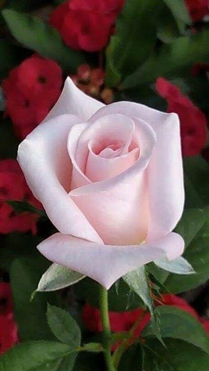 صورة اجمل وردة في العالم , احلى الورود فى العالم 4756 2
