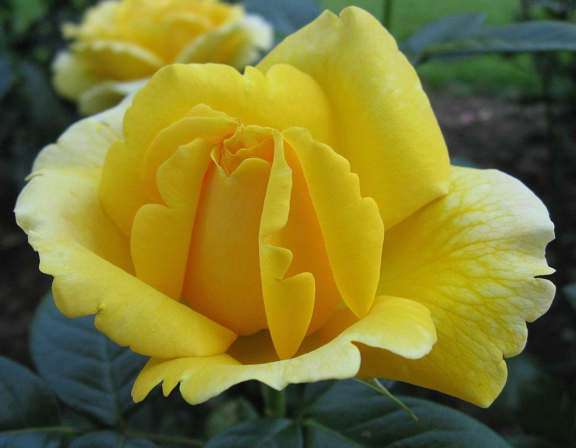 صورة اجمل وردة في العالم , احلى الورود فى العالم 4756 3