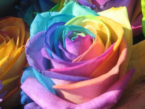 صورة اجمل وردة في العالم , احلى الورود فى العالم 4756 4