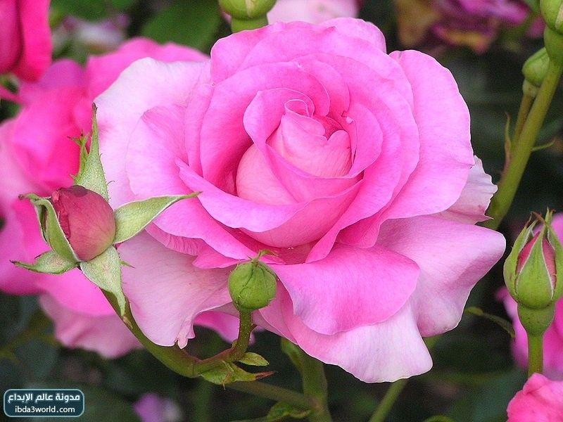 صورة اجمل وردة في العالم , احلى الورود فى العالم 4756 6