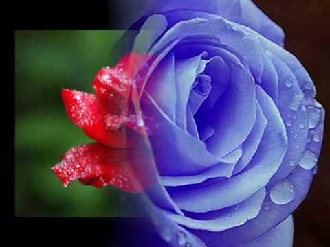 صورة اجمل وردة في العالم , احلى الورود فى العالم 4756 7