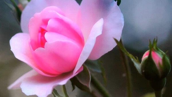 صورة اجمل وردة في العالم , احلى الورود فى العالم 4756
