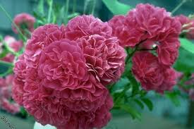 صورة ورد طبيعي , اجمل الورود الطبيعيه الحمرا 5201 2