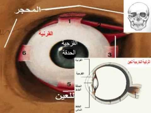 صورة مكونات العين , اجزاء العين واهميتها