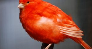 انواع الكناري , تعرف على اجمل الطيور