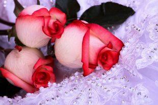 صورة اجمل ورود في العالم , جمال الورد ف احلى صوره